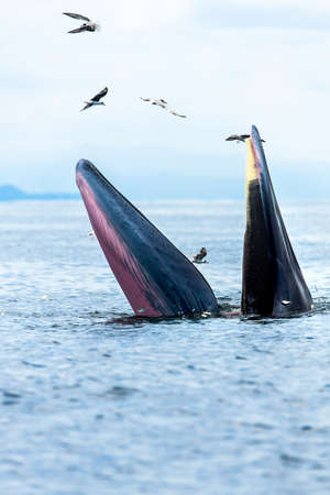 Bryde's whale, Eden's whale, Eating fish at gulf of Thailand.