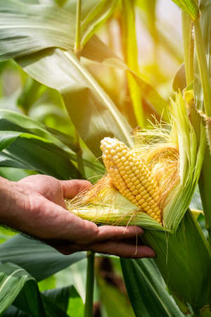 yellow cob of sweet corn on the field. Collect corn crop. Standard-Bild