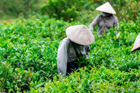 Tea picker picking tea leaf on plantation Banco de Imagens