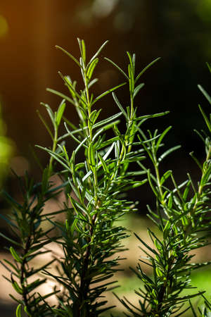 Fresh Rosemary Herb grow outdoor. Rosemary leaves Close-up Stock Photo