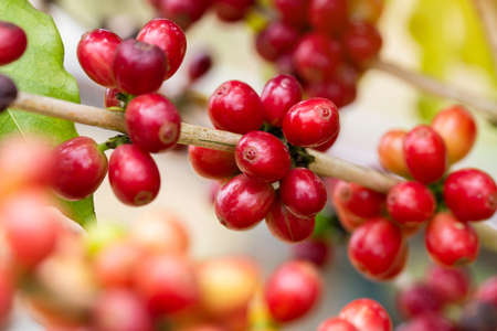 Coffee beans ripening on tree in North of thailand Reklamní fotografie