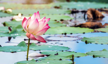 Beautiful pink waterlily or lotus flower in pond.