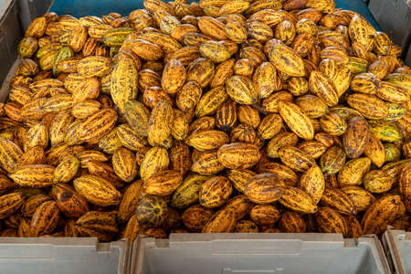 Kakaobohnen und Kakaoschote auf einer Holzoberfläche