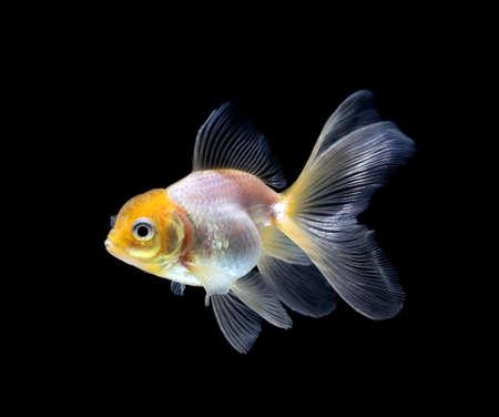 Goldfish aislado sobre un fondo negro oscuro