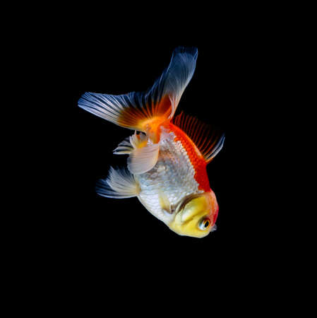 goldfish isolated on a dark black background