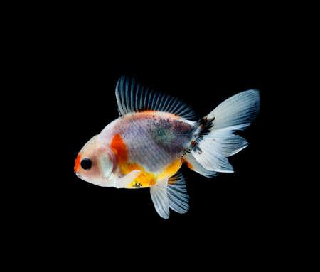 Goldfisch auf einem dunklen schwarzen Hintergrund Standard-Bild