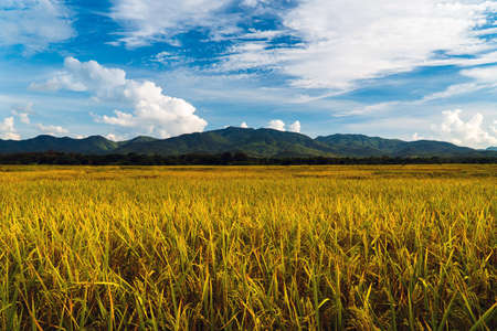nature rice in rice field, under the blue sky white clouds 写真素材