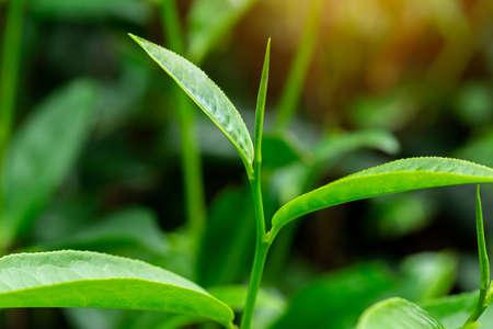 Green tea leaves in a tea plantation in morning Standard-Bild