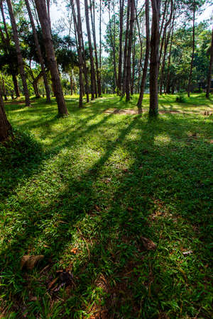 Pinus mugo - It is also known as creeping pine, dwarf mountain pine,