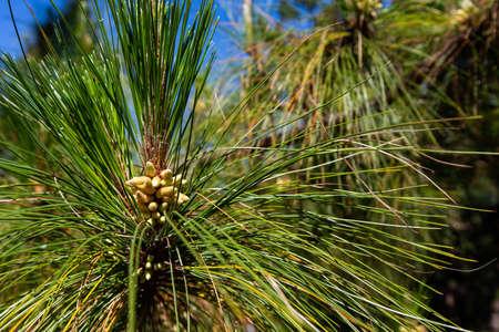 Pinus mugo - It is also known as creeping pine, dwarf mountain pine, mugo pine. Reklamní fotografie