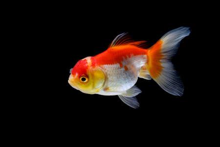poisson rouge isolé sur fond noir foncé