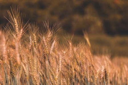beautiful Barley Field in Sunset