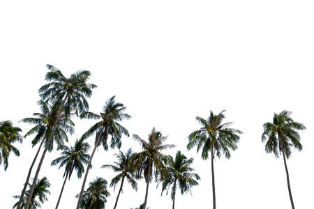Coconut palm trees on white background Stock Photo