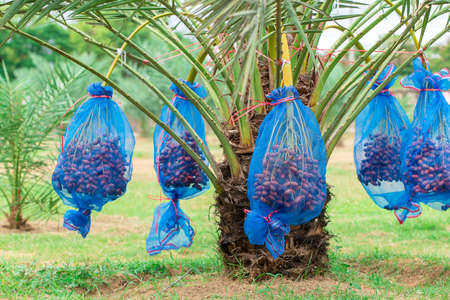 Dates palm branches with ripe dates