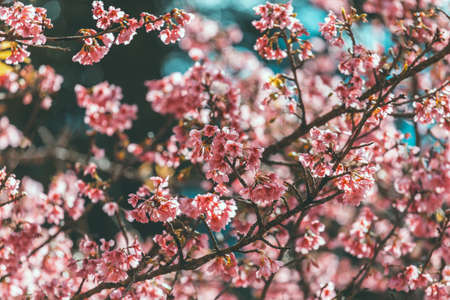 Cherry Blossom and Sakura wallpaper Stock Photo