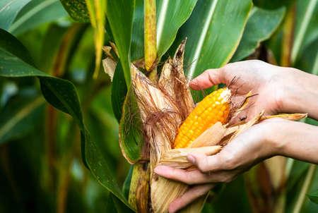 yellow cob of sweet corn on the field. Collect corn crop. Banco de Imagens