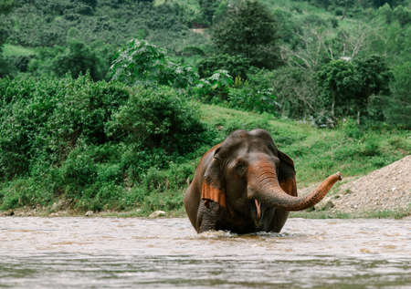 Asian Elephant in a nature at deep forest in Thailand