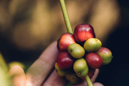 Coffee beans ripening on tree in North of thailand Фото со стока