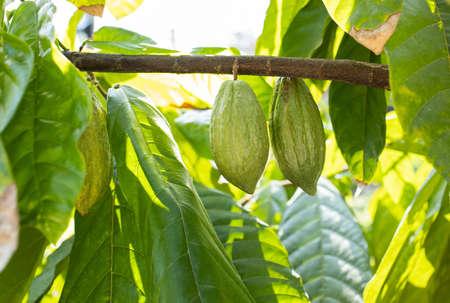 Cacaoyer (Theobroma cacao). Gousses de fruits de cacao bio dans la nature.