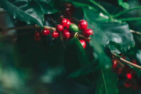 Coffee beans ripening on tree in North of thailand Banco de Imagens