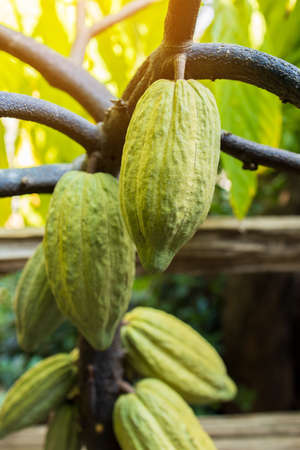 Cacao Tree (Theobroma cacao). Organic cocoa fruit pods in nature Zdjęcie Seryjne