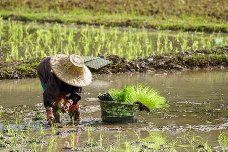 Asian farmer transplant rice seedlings in rice field,Farmer
