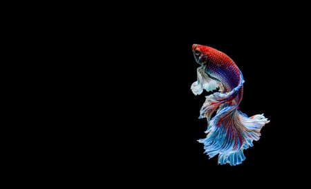 Betta fish, siamese fighting fish, betta splendens isolated on black background Zdjęcie Seryjne - 148155321