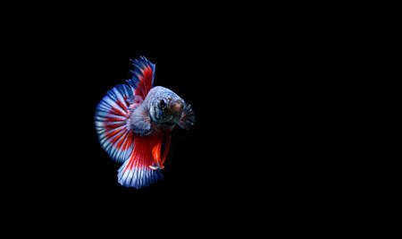 Betta fish, siamese fighting fish, betta splendens isolated on black background Imagens