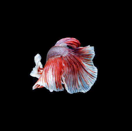 Betta fish, siamese fighting fish, betta splendens isolated on black background Foto de archivo