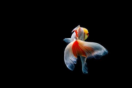 goldfish isolated on a dark black background. different colorful Carassius auratus in the aquarium Foto de archivo