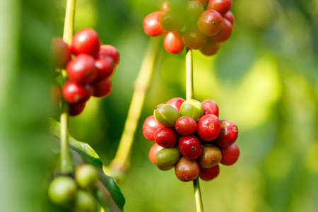 Robusta Coffee beans ripening on tree in North of thailand