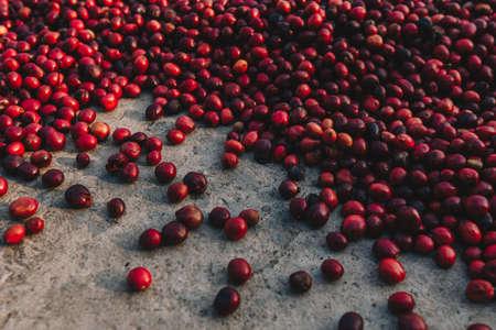 Fresh Arabica coffee berries . Organic coffee farm Foto de archivo