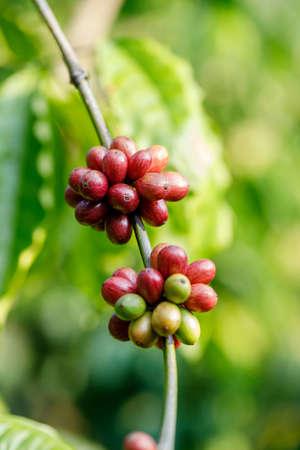 Coffee beans ripening, fresh coffee,red berry branch Foto de archivo