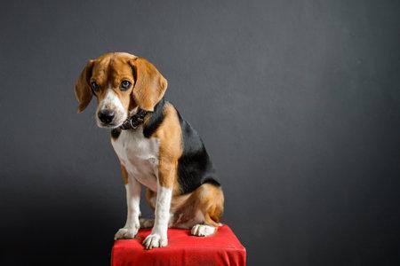 beagle puppy dog looking up on gray screen Foto de archivo