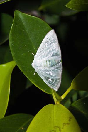白い翼の蛾のようなサテンのクローズ アップ