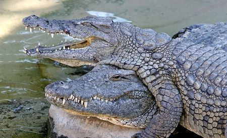 Alligators or crocodiles playing in the sun and water Climbing over each other with funny expressions photo