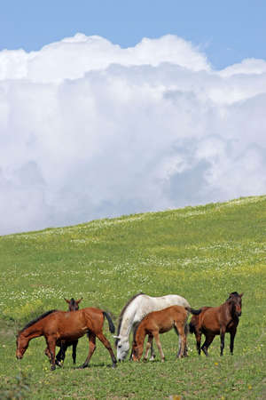 Brown and white Spanish horses in green field with cloudy blue skies photo