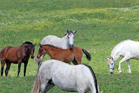 White and Brown Spanish Andalucian horses in a lush green field photo