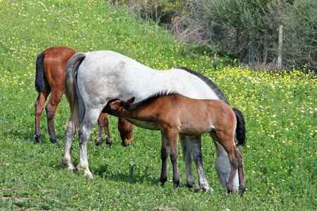 White and Brown Spanish Andalucian horses in a lush green field Stock Photo - 2056380
