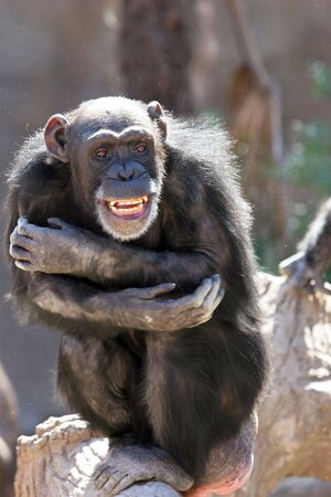 arma: Monkey laughing and grinning at crowds at the zoo or wildlife sanctuary on a bright sunny day while hugging itself. Stock Photo