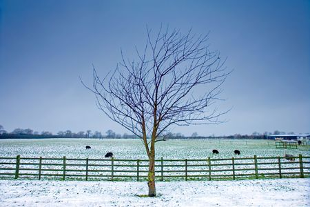 wintery: Lone tree next to a wintery field with black sheep and wooden fence and a dark sky Stock Photo
