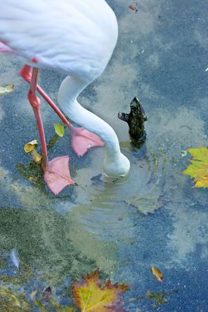 webbed legs: White Flamingo with pink legs and webbed feet with its head in the water looking for food