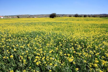 as far as the eye can see: Rows and rows of mustard flowers as far as the eye can see in a big yellow field