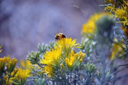 Bee pollinating Sagebrush blossom