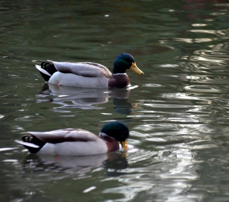 Mallard ducks on a Pond photo