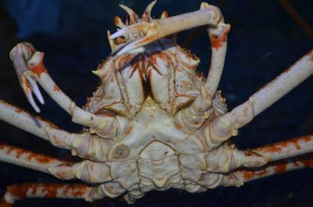 Large sea crab on a black background close-up.