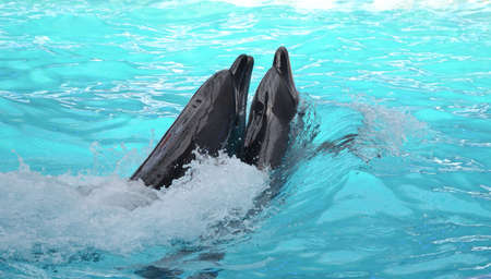 Couple of dolphins swimming in pool of the dolphinarium