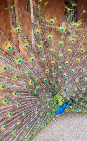 Peacock closeup with a colorful feather open