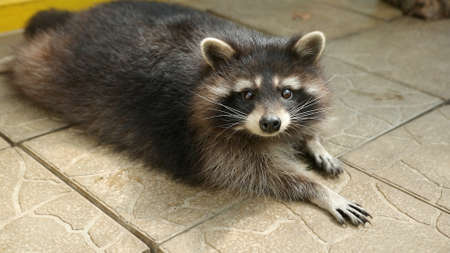 Raccoon lying on the tile of an aviary in a zoo carefully looks to camera, sniffing. Animals captivity. Fauna