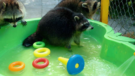 Group of funny raccoons play with toys in a green basin water. Fun games animal. Fauna Standard-Bild